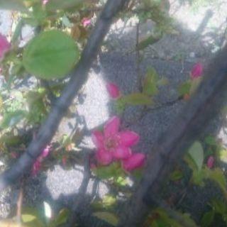 かりんの花 - その他