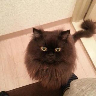 ペルシャ猫 4才 雄