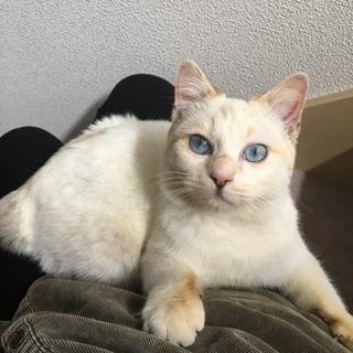 綺麗なブルー目の猫