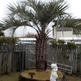 ココスヤシの木