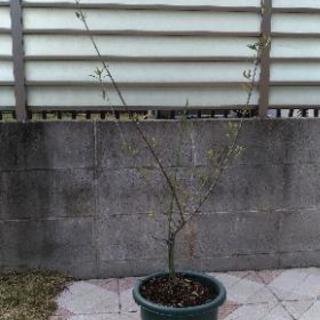 オリーブの木(120cm)