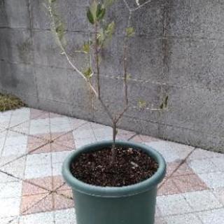 オリーブの木(60cm)