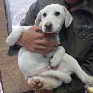 イノシシ用猟犬(たて犬)子犬あげます。