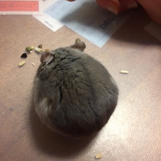 助けてください。1歳2ヶ月のジャンガリアンハムスター(雌)