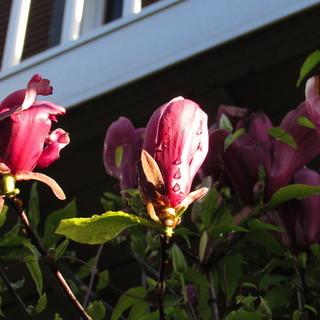紫木蓮・花カイドウ・姫リンゴの挿し木用枝