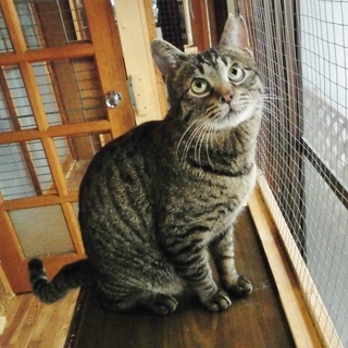 ラブラブ猫ライフのお供に★ダンパー ♂ 推定3歳~4歳
