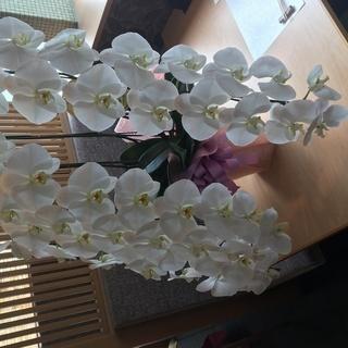 胡蝶蘭 コチョウラン 鉢植え 美品 3本立て