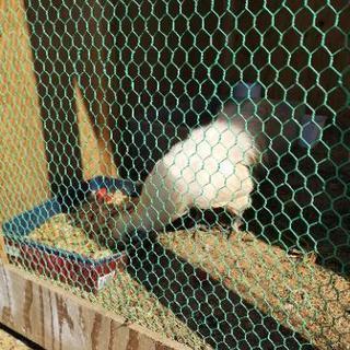 烏骨鶏おす約10ヶ月