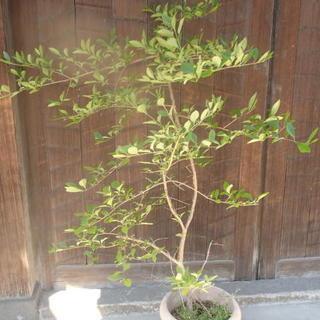 ナンジャモンジャの木(モクセイ科ヒトツバタゴ)
