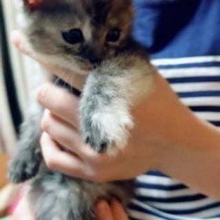2月28日が誕生日の女の子です😊 母猫が純マンチカンの血統書付きで...