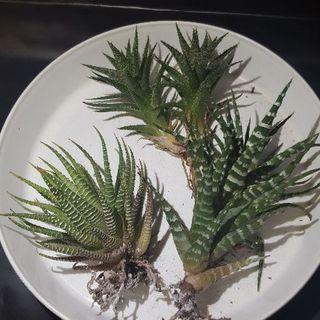 多肉植物(硬葉系ハオルチア3種)