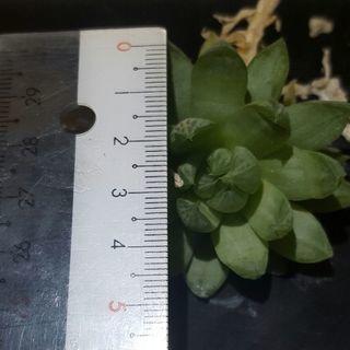 多肉植物(軟葉系ハオルチア同種3株) - 帯広市