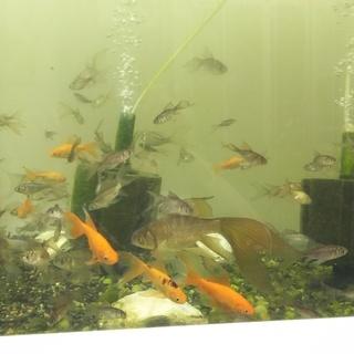 魚取沼系 鉄魚