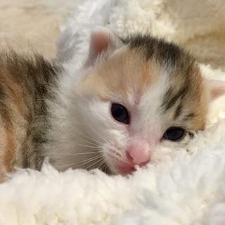 可愛い三毛猫のシンコちゃん♥️