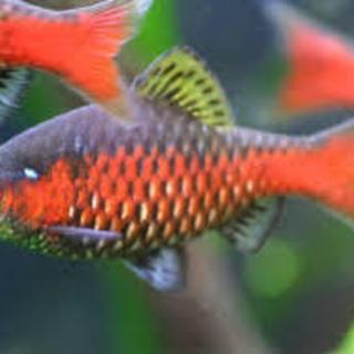 熱帯魚 オデッサバルブ グリーンバルブ その他 水槽