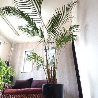 観葉植物 アレカヤシ200㌢