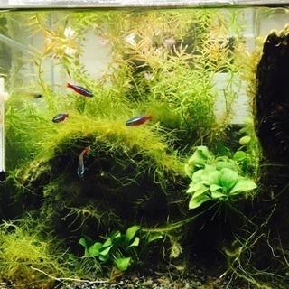 熱帯魚(カージナルテトラ3匹・ネオンテトラ1匹・ランプアイ1匹・...