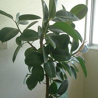 観葉植物🌳11号鉢「ゴムの木」8本枝 全高1.2mくらい …