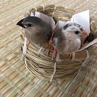 ☆文鳥☆雛 2羽