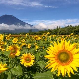 世界遺産 富士山と向日葵畑 写真 A4又は2L版 額付き