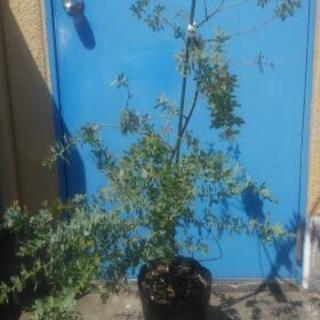 銀葉アカシア(ミモザ)鉢植え