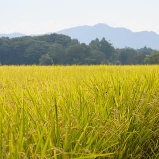 【平成30年産米】 山形県産 はえぬき 一等米 一分づき~無洗米...