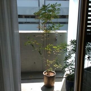 観葉植物 シマトネリコ  鉢付 190㎝
