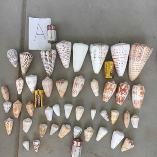 23、Aまとめ売り、貝殻、巻貝、カイガラ