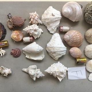 28、Fまとめ売り、貝殻、巻貝、カイガラ