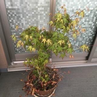 紅葉の植木です。