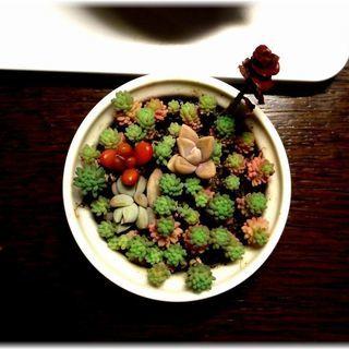 【多肉植物】ココット(Ф600mm)入りサキュレント5種寄せ植えセット