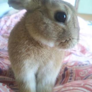 ネザーランドドワーフとミニウサギのMIX
