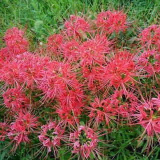 曼珠沙華(赤)球根 5~20個