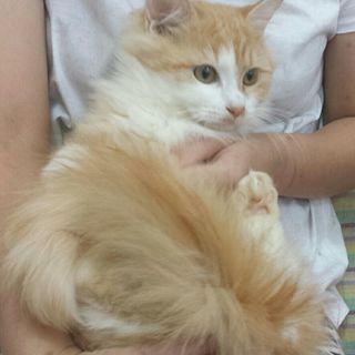 令和元年❤️ 連休5月2日(木)の猫の譲渡会に出します 茶白長毛の...