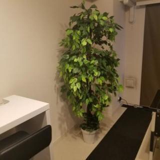 ベンジャミン 観葉植物