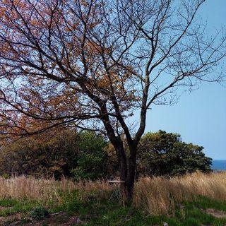 桜の原木、譲ります(伐採済/広葉樹/薪、丸太)