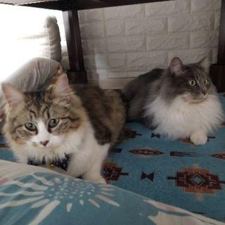 キジ白長毛の女の子 - 猫