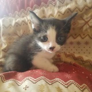 ハチワレの子猫、女の子です!