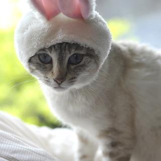 白猫 ポインテッド 子猫メス10ヶ月:飼い主不在確認済み