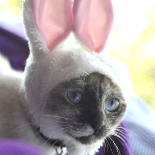 子猫約6ヶ月 ポインテッド 白 シャム猫風 雌 野良猫の子供 飼い...