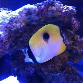 海水魚 チョウチョウウオ  イッテンチョウとスポテッドバタフライ