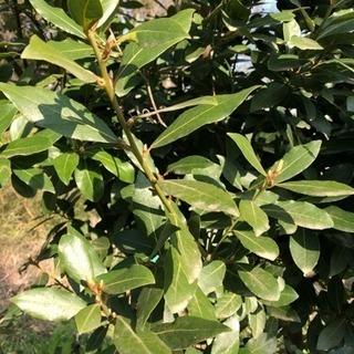 月桂樹(ローリエ)