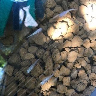 ラメメダカ×オーロラメダカの卵10個 夜桜メダカ 値引