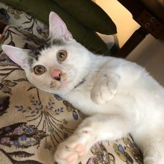 白黒キジで珍しい柄の美ネコくんです!