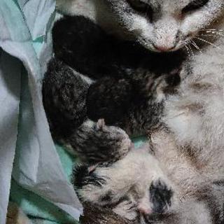 可愛い子猫です。4月25日産まれたばかりです。