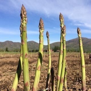 北海道でオーガニックアスパラの収穫