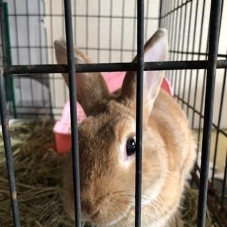ミニウサギ 一歳