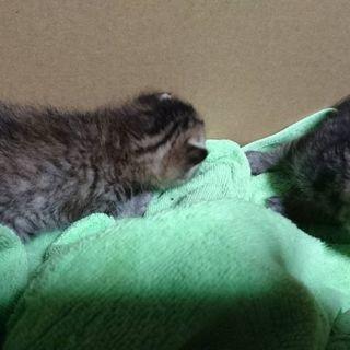生後2週間の子猫 里親募集です。