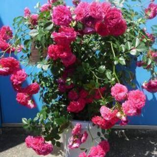 バラ 鉢植え 毎年咲きます