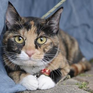 三毛 子猫メス約10ヶ月 白足袋:飼い主不在を確認済み